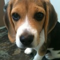 Lost Beagle Puppy