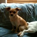 Lost Chihuahua/Rat Terrier [FOUND]