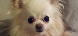 Have you seen Ruby the chihuahua, missing from MLT?