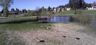 Video: Geese at Ballinger Park