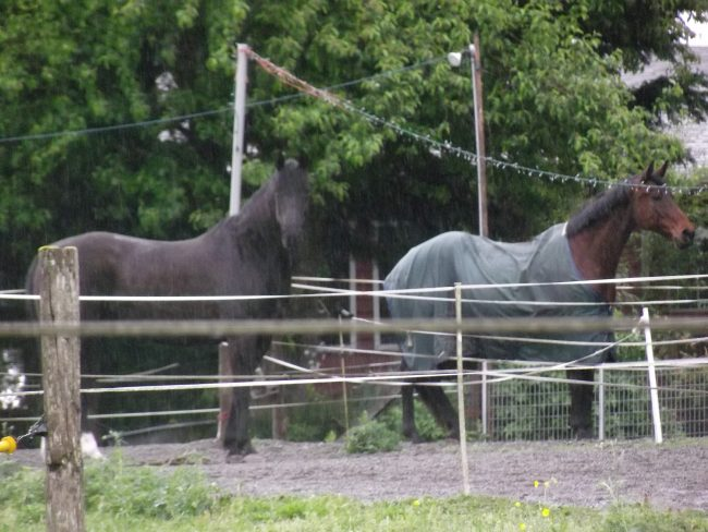While the proposed animal ordinance changes being considered by the Brier City Council on Tuesday bans roosters and modifies the number of dogs and cats a household can have without further city approval, there are no changes to the regulations affecting horses, such as these, in the city.