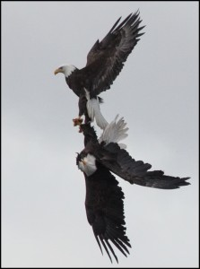 20130205_eagles 3