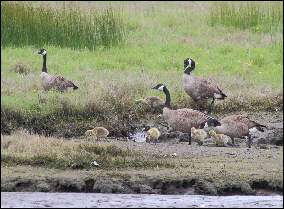 From LeRoy VanHee, Canada geese and their goslings at the Edmonds Marsh Sunday morning. Fun fact: Canada Geese are monogamous, and most couples stay together all of their lives.
