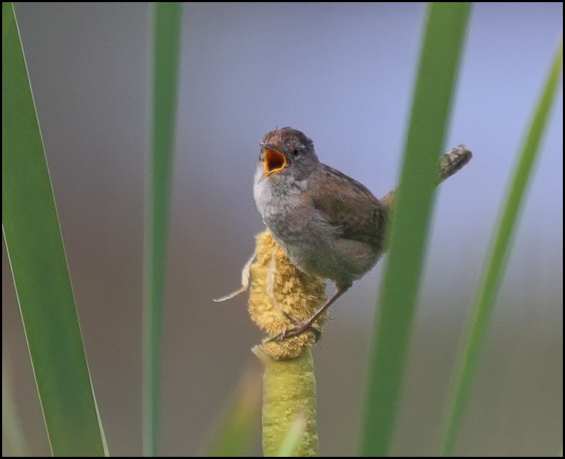 From Leroy Van Hee, a wren at the Edmonds Marsh is tweeting, but we speculate that he's not on Twitter!