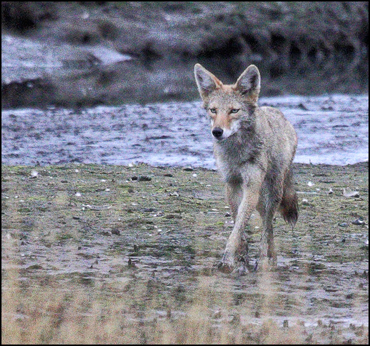 Taken Monday by LeRoy Van Hee: You may have heard rumors about a coyote living in the Edmonds Marsh. Here's confirmation.