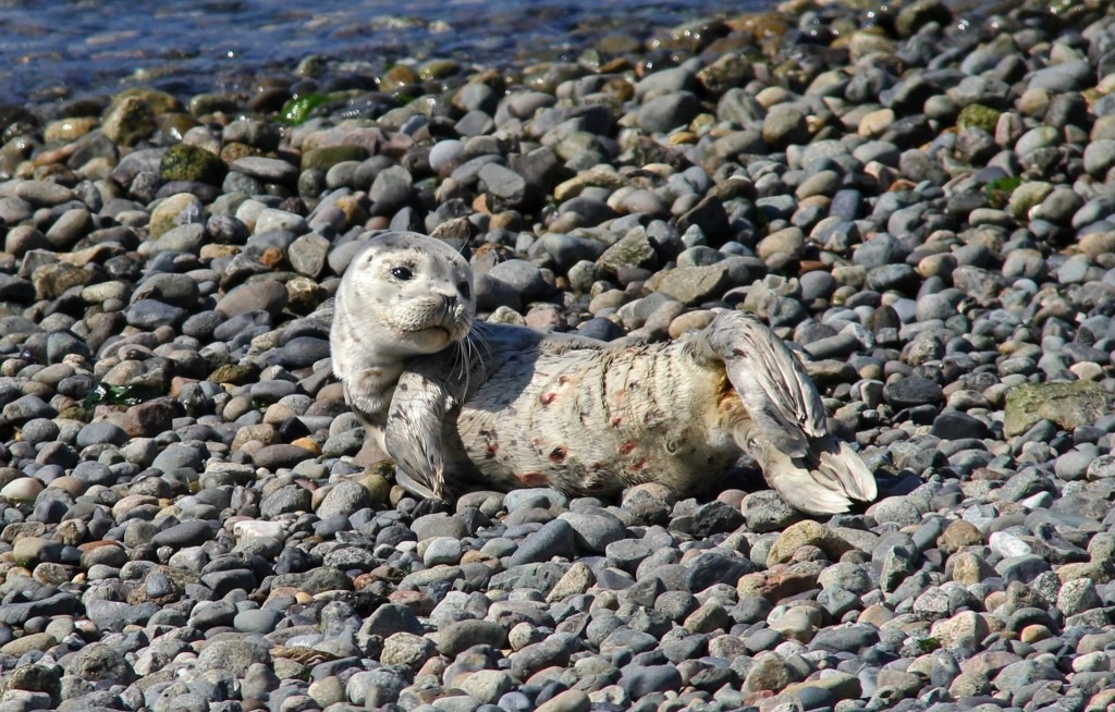 Janine Harles took this photo of a baby seal at the beach in Edmonds, with apparent wounds on its stomach.