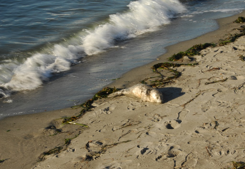 Another seal pup photo, this one taken by Tom Dockins early evening on Monday. The baby seal was eventually retrieved by its mother, which is common practice and why observers are asked not to bother seal pups spotted on the beach.