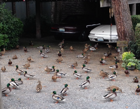 "Mushkie Davey was walking his dog along Olympic View Drive Sunday afternoon when they spotted ""at least 100 ducks"" in this driveway and yard. ""Even my dog thought they were wooden duck decoys because she didn't even try to go after them. We both stood there mesmerized,"" Davey said."