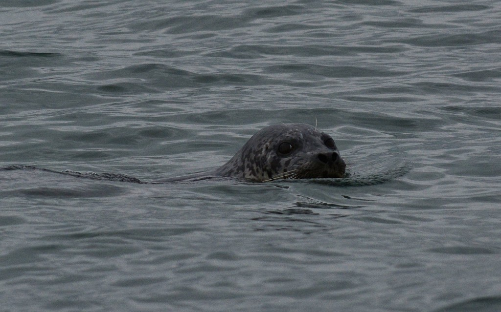 From Dan Palmer, a sea lion at Brackett's Landing Monday morning.