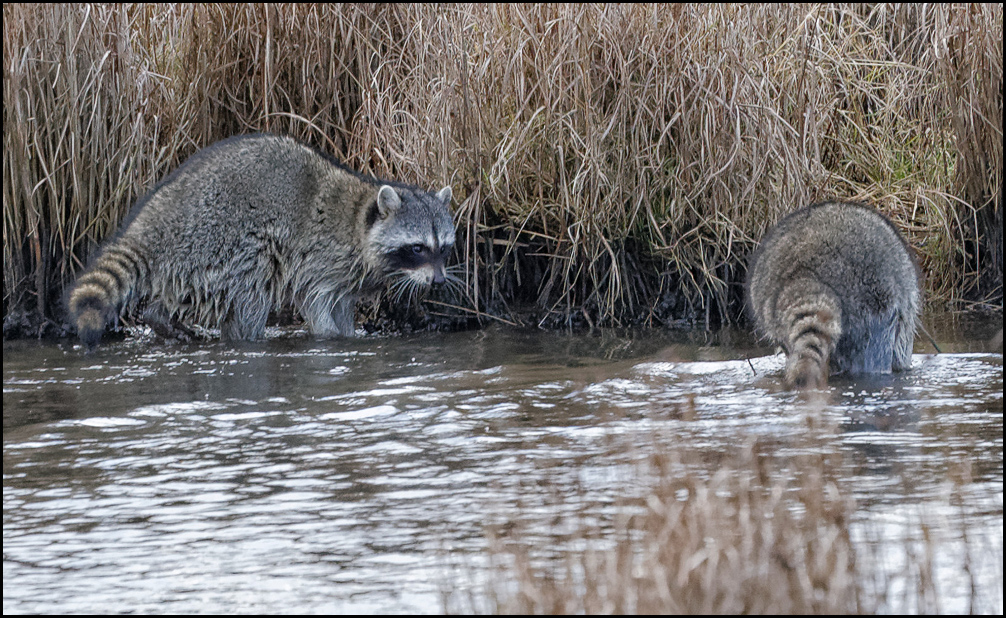 Raccoons are busy at the Edmonds Marsh Sunday. (Photo by LeRoy VanHee)