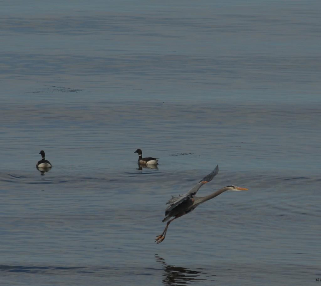 From Ken Sjodin, a blue heron in flight just north of Brackett's Landing Tuesday,
