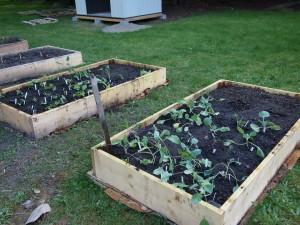Vegetable starts at the Salem Church community garden.