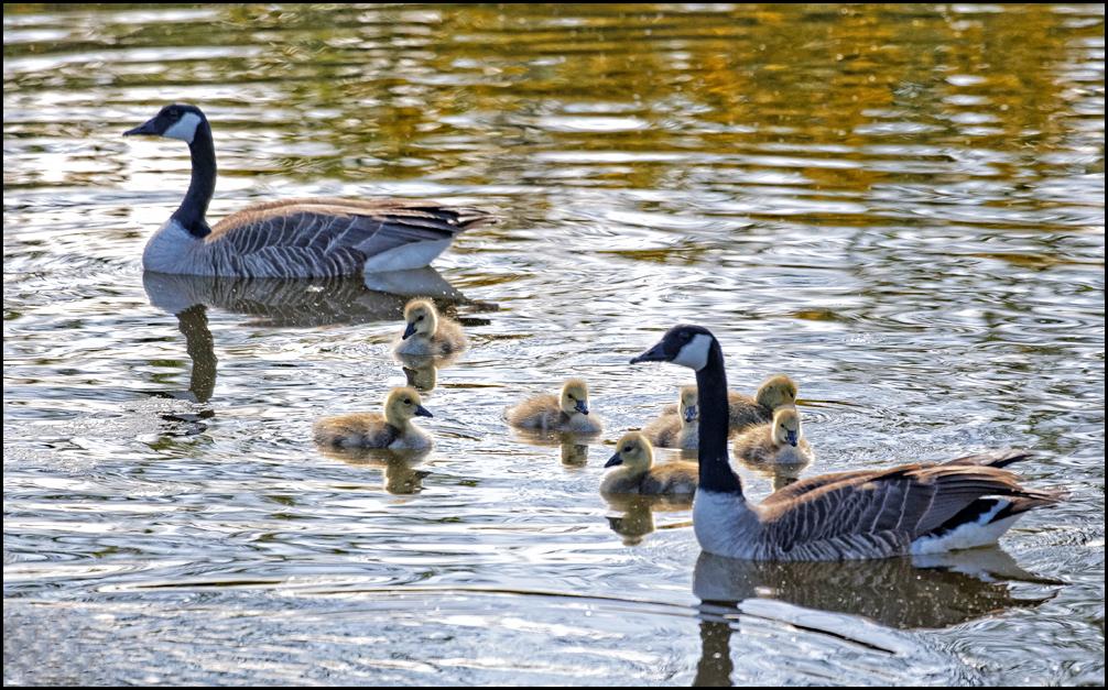 canada_goslings