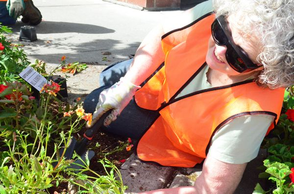 Edmonds Floretum Garden Club volunteer Patty Green gets up close and personal with the corner park at Fifth and Dayton as Floretum members assist City Parks personnel in bringing a colorful breath of Spring to downtown Edmonds.  This marks the 90th year that Floretum members have given their time to beautifying the downtown area.
