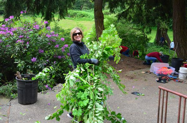 Some of the invasive plants had grown to considerable size.  Here Amy Barrow hauls out a huge alder branch.