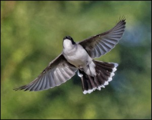An Eastern Kingbird from the June 14 Bird Lore column. (Photo by LeRoy VanHee)