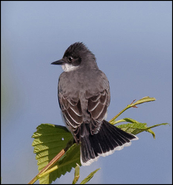 eastern_kingbird2