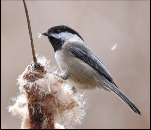 black-capped_chickadee