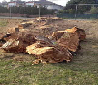 What was left of the poplar tree.