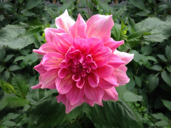 From Jim Blossey, whose wife Linda is credited with growing them. Have a photo of a dahlia -- the City of Edmonds' official flower-- you'd like to share? Email teresa@myedmondsnews.com.