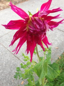 From Jennifer Benson, a raspberry-colored dahlia unfolding in the yard of 6th and Dayton Street.