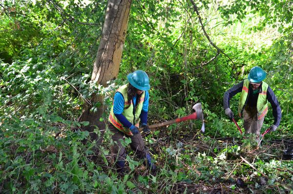 A crew of volunteers from EarthCorps was on Friday out clearing the area adjacent to the Edmonds Marsh boardwalk near the Harbor Square tennis courts.  Their efforts were focused on non-native invasive plants such as English Ivy and Himalayan Blackberry.