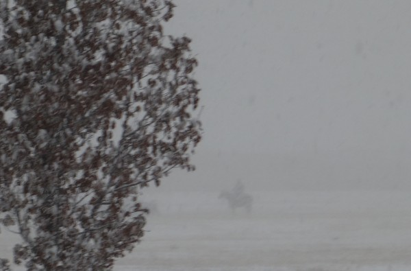 Yesterday they gathered the calves in the snow on horseback.