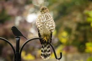 Cooper's Hawk on a feeder in Edmonds.