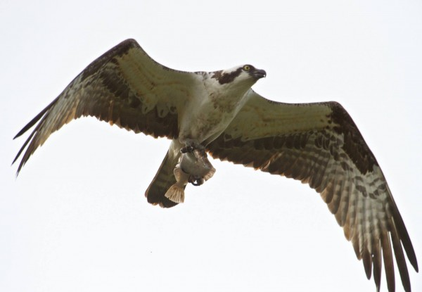 From Stu Davidson, who photographed this osprey after a successful fishing expedition.