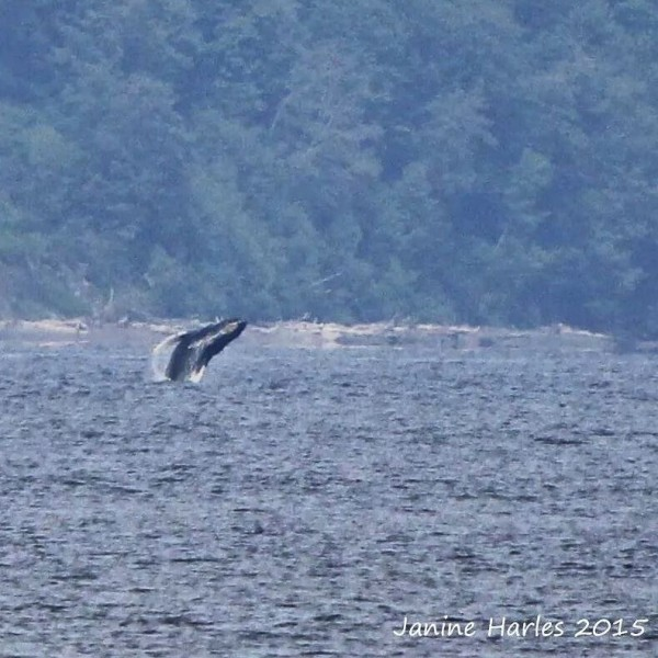 """Taken by Janine Harles Thursday: """"This humpback breached multiple times and then cartwheeled as the Polar Pioneer oil rig approached it in the shipping lanes between Kingston and Edmonds...it was quite the sight!"""""""