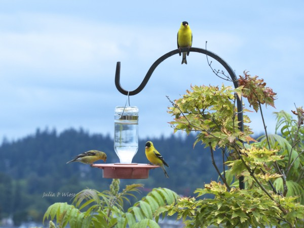From Julie Wiese: These goldfinches landed on our hummingbird feeder. Thought others might be interested to know they are hanging out in Edmonds.