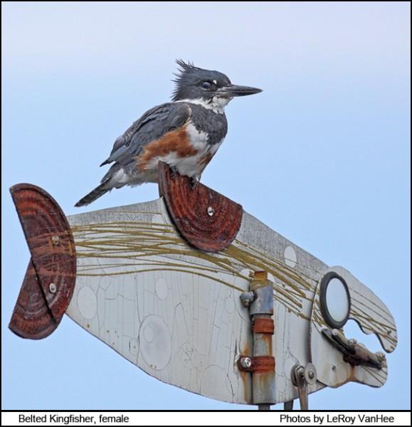 kingfisher_female