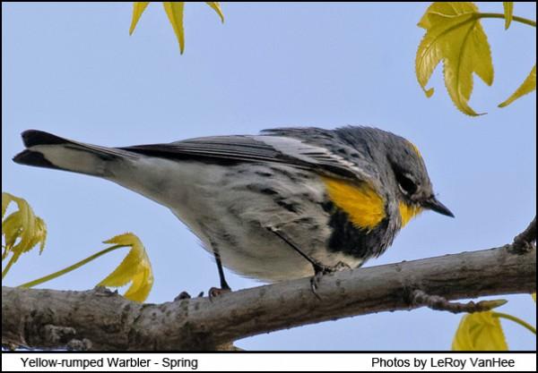 yellow-rumped_warbler1