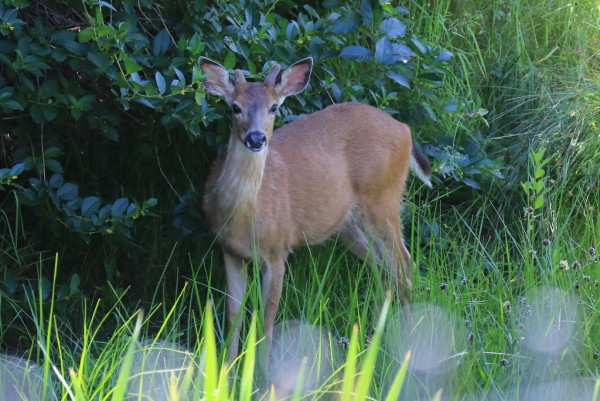 """From Bill Anderson: """"Saturday (6/6) my son and I finally got good photos of one of the Pt. Edwards deer.   We caught glimpses of one in August of last year and had heard reliable reports that this year there were as many as four or five in the area."""