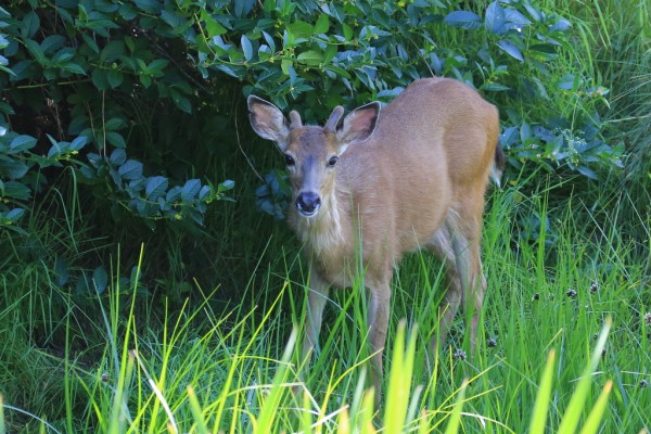 After posing for photos, the deer disappeared back into the thick bushes.