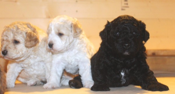 Labradoodles from Northwest Doodles.