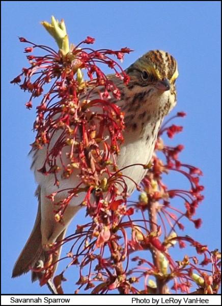savannah_sparrow