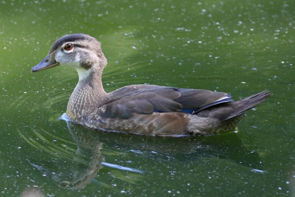 One of several wood ducks photographed by Bill Anderson Monday at Pine Ridge Park.  More photos and narrative can be found here.