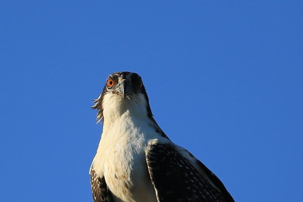 Photographer Bill Anderson supplied this portrait of a juvenile osprey from the nest at City Wide Fence in Lynnwood.  More photos and narrative can be found here.