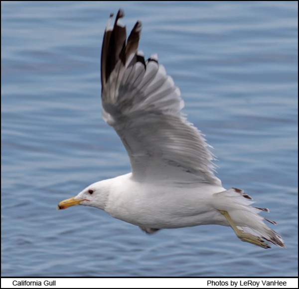california_gull_1