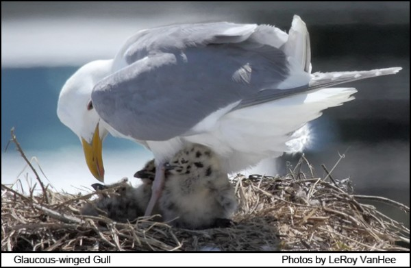 glaucous-winged_gull1