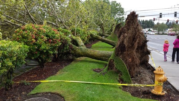 Janice Carr captured this photo of uprooted trees next to James Village at 196th Street and Highway 99 in Lynnwood.
