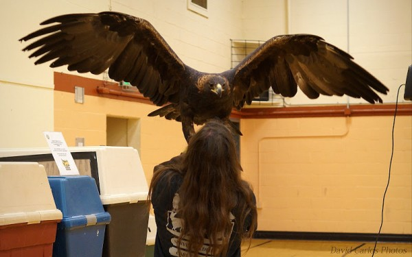 This is a golden eagle, usually seen east of the Cascade Mountains. This particular eagle is 15 years old, weighs 12 pounds, and has a wing span of 6 feet, 1 inch.