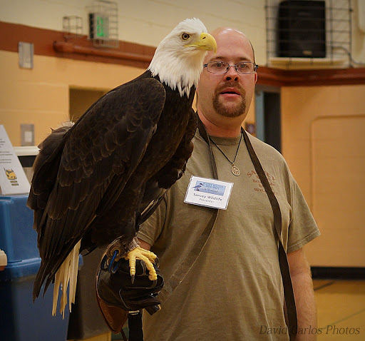 """Here's an American bald eagle. They get their name from the old English word, """"Balde,"""" which meant """"white-headed."""" If bald eagles can read, they can read a newspaper three football fields away."""