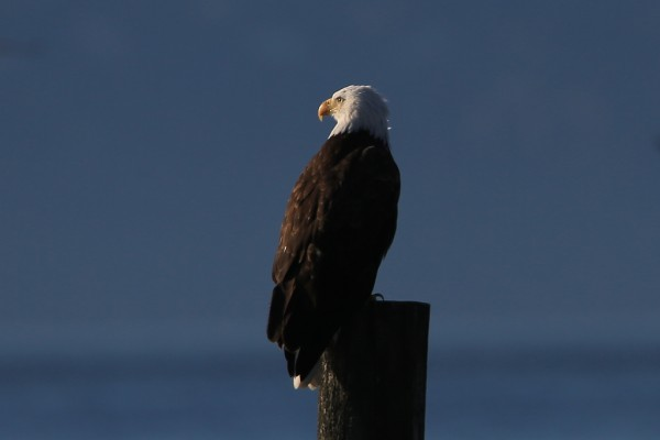 From Bill Anderson, who notes that at least one of the eagles that usually hangs out at Point Edwards has returned. On Friday, Oct. 16 one of them was perched on the piling off Marina Beach, one of its usual spots.
