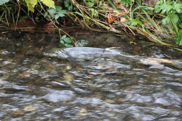 Attached is a photo I took yesterday of a salmon in Shell Creek that I thought might be of interest to your readers.  I'm not sure that many people in Edmonds are aware that we actually have adult salmon in our creeks about this time each year. I was out with students doing water quality measurements in Shell Creek along Brookmere Drive yesterday afternoon and we observed about six salmon in the creek.  I took several photos, and the attached is one of the better ones.