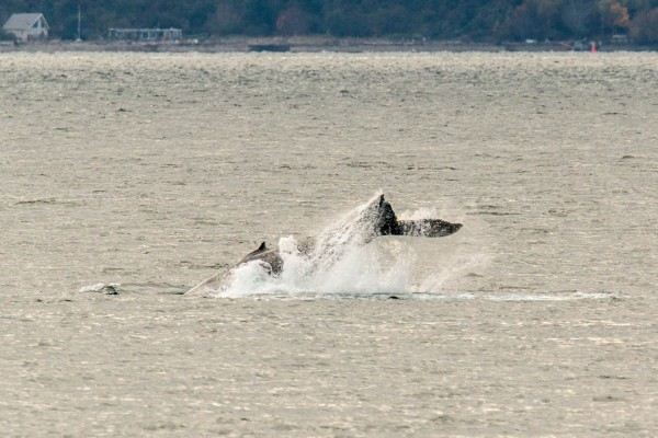 From Sherman Page: one of the two humpbacks that passed by the Edmonds fishing pier Monday afternoon.