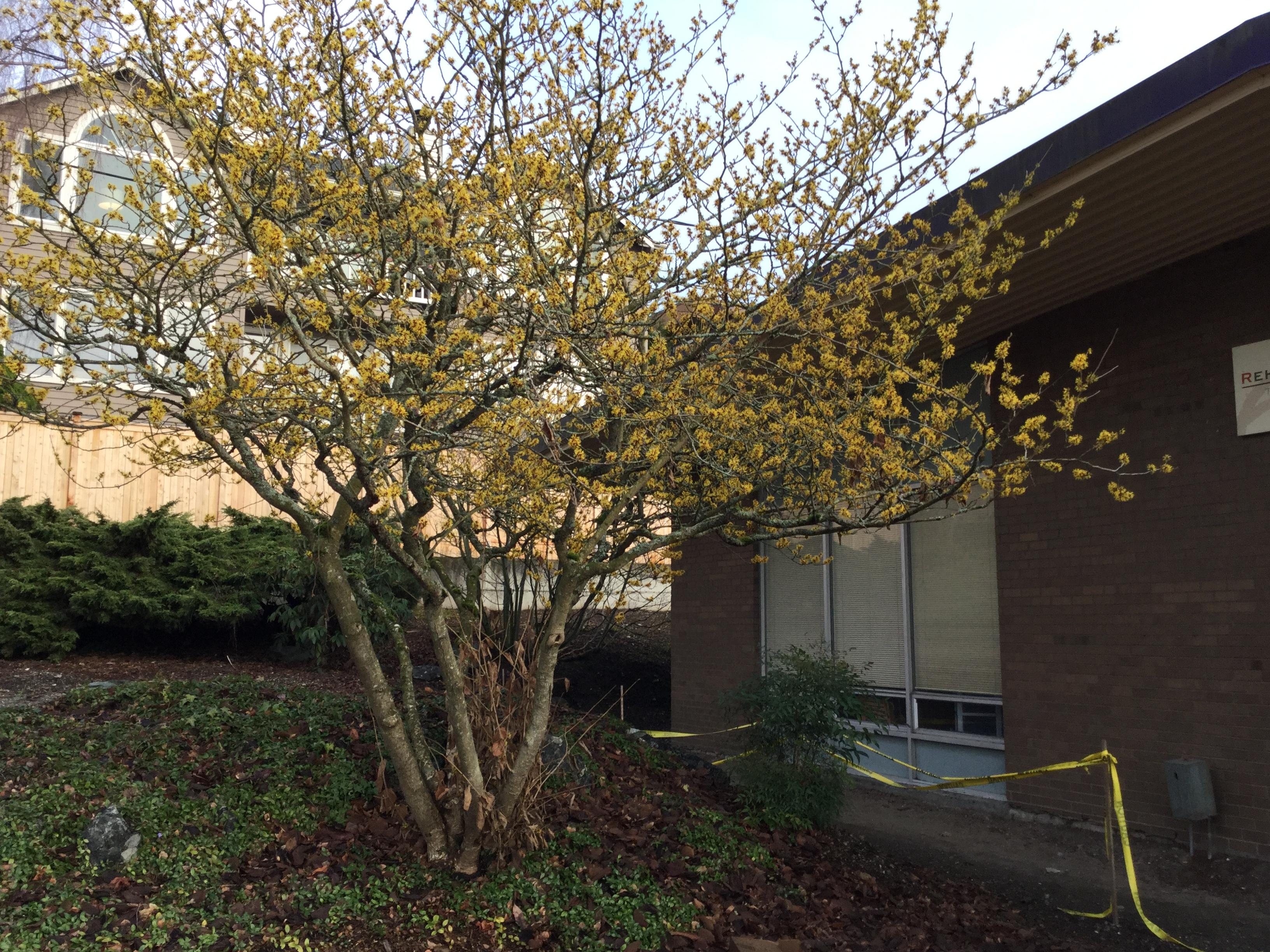 Good Trees For Urban Gardens Witch Hazel My Edmonds News