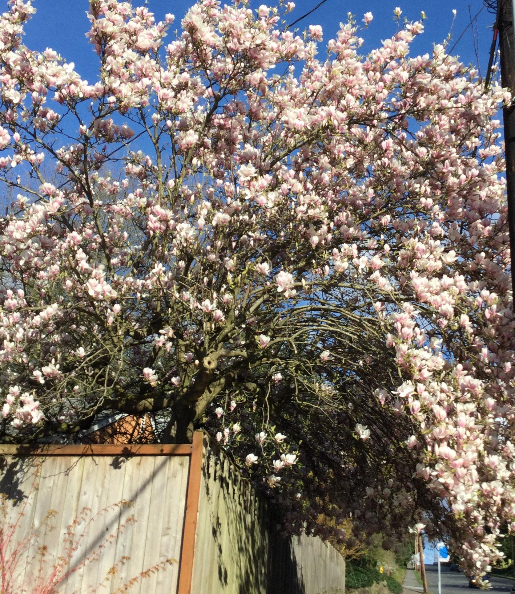 Good Trees For Urban Gardens Magnolias My Edmonds News
