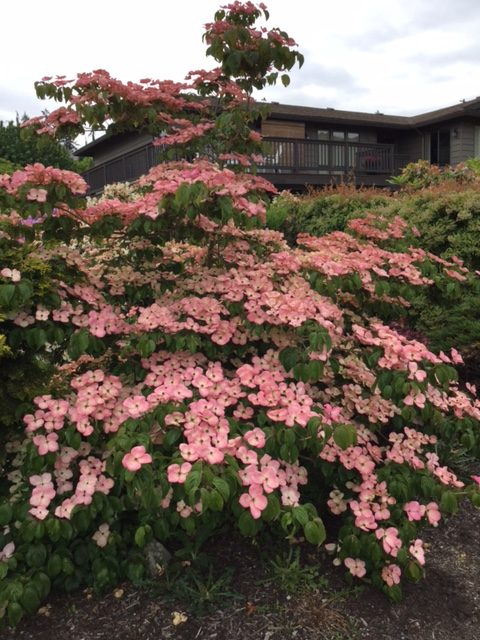 Good Trees For Urban Gardens Which Dogwood Is Right For You My